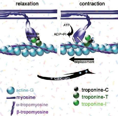 filaments actine et myosine